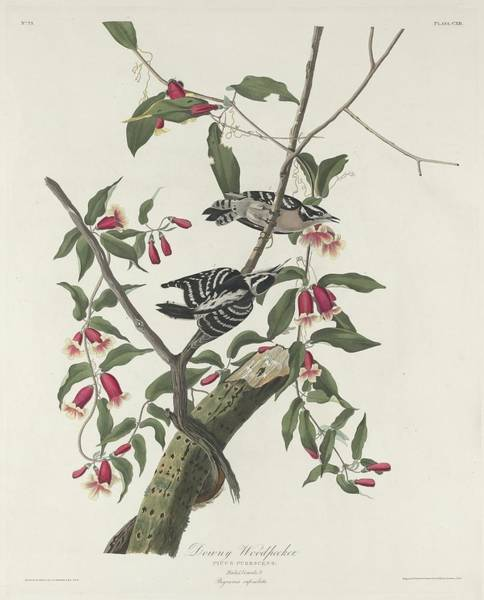 Wall Art - Drawing - Downy Woodpecker by Dreyer Wildlife Print Collections