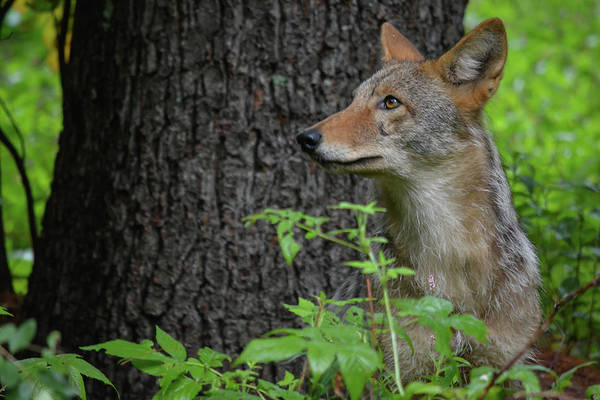 Early Morning Coyote In Maine Art Print