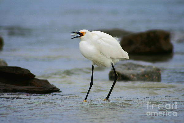 Photograph - Egret Breakfast by Angela Rath