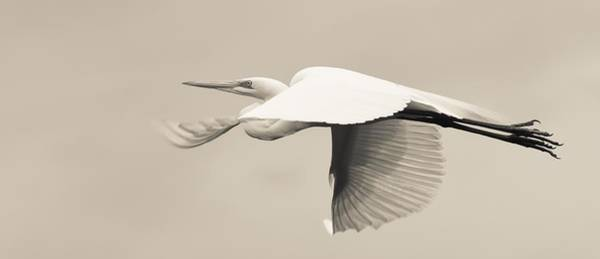 Photograph - Egret Rising In Flight 1 by Janal Koenig