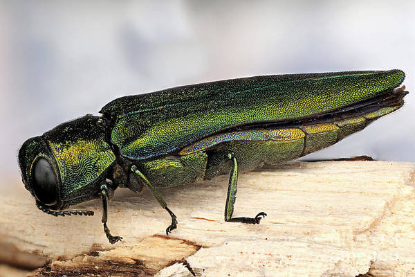 Photograph - Emerald Ash Borer by Macroscopic Solutions