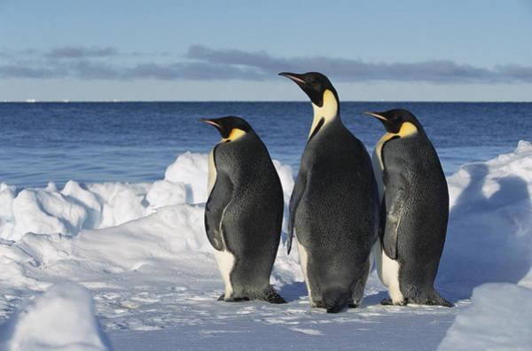 Photograph - Emperor Penguin Aptenodytes Forsteri by Konrad Wothe