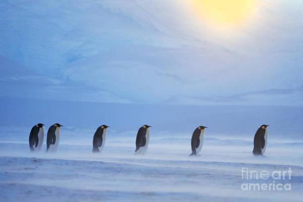 Photograph - Emperor Penguins by Frans Lanting