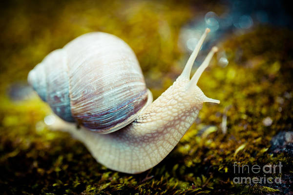 Photograph - snail Escargot artmif.lv by Raimond Klavins