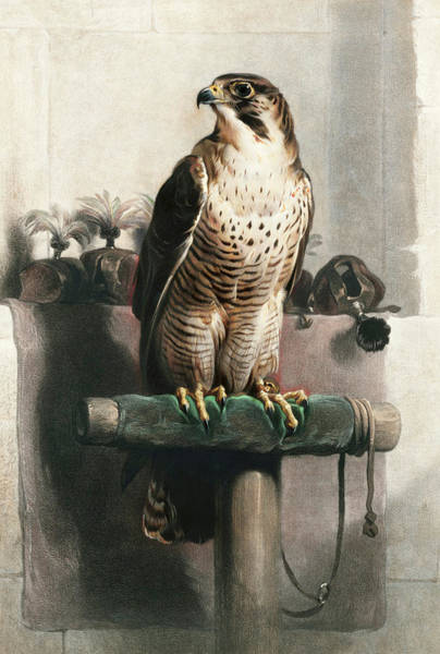 Roost Painting - Falcon by Sir Edwin Landseer
