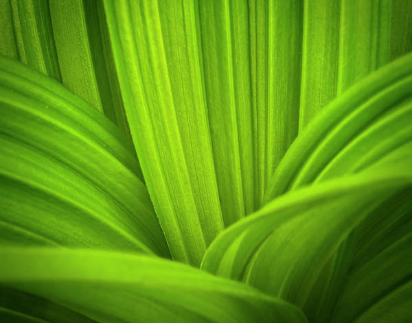 Photograph - False Hellebore  Abstract by John Vose