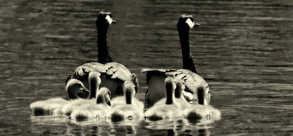 Mother Goose Photograph - Family Outing by Pixabay