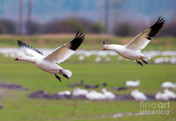 Snow Goose Photograph - Flaps Down by Mike Dawson