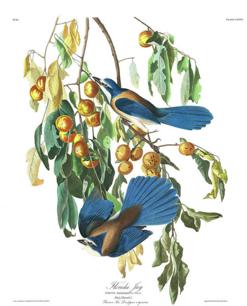 Wall Art - Painting - Florida Jay by John James Audubon