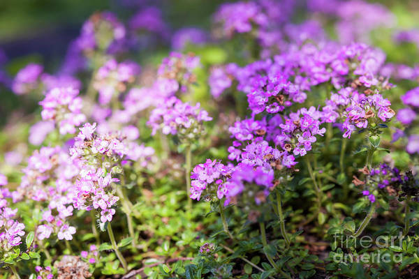 Wall Art - Photograph - Flowering Thyme by Elena Elisseeva