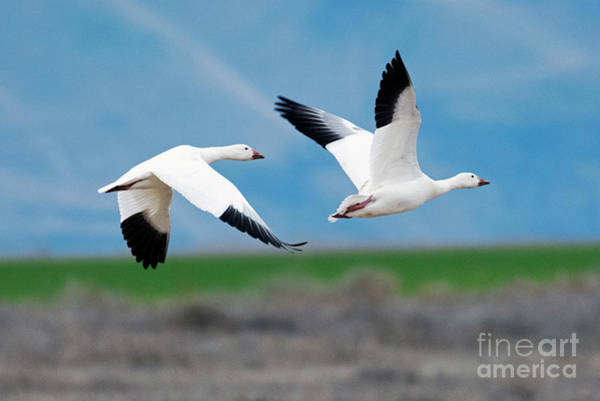Snow Goose Photograph - Follow The Leader by Mike Dawson
