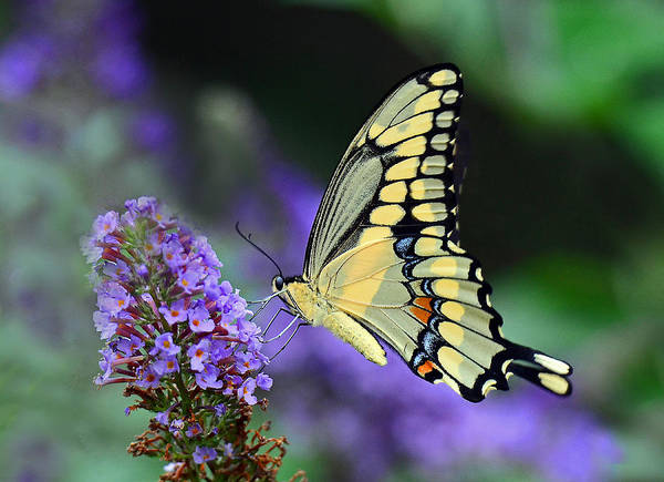 Photograph - Giant Swallowtail by Rodney Campbell