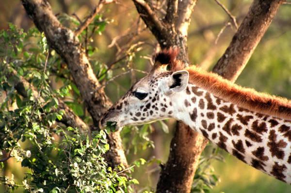 Photograph - Giraffe by Sebastian Musial