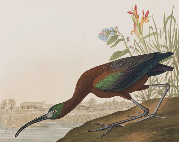 Feather River Wall Art - Painting - Glossy Ibis by John James Audubon