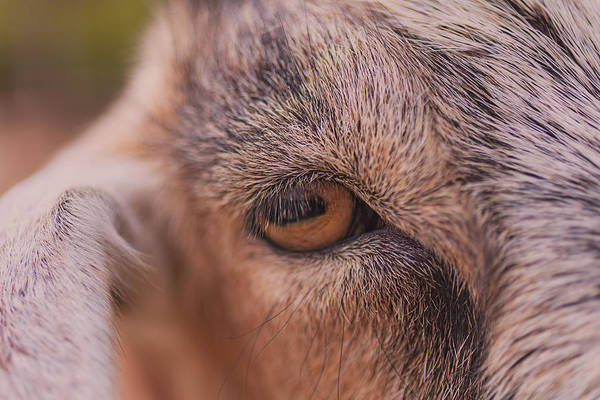 Photograph - Goat  by Brian Cross