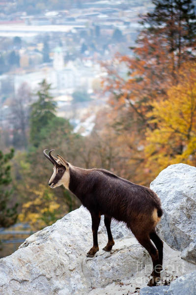 Goat Rocks Wilderness Wall Art - Photograph - Goat In The Austrian Alps by Andre Goncalves