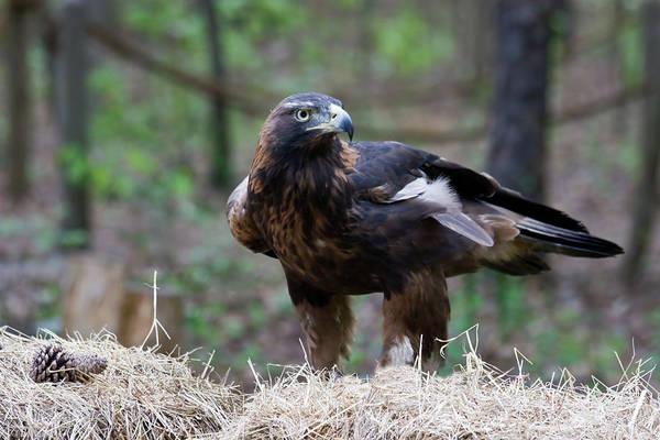 Photograph - Golden Eagle by Jill Lang