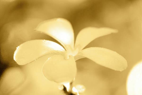 Plumeria Photograph - Golden Petals by Sean Davey