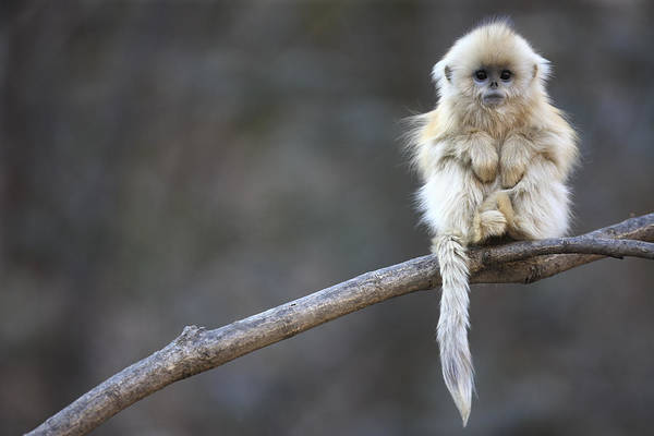 Nursery Photograph - Golden Snub-nosed Monkey Rhinopithecus by Cyril Ruoso