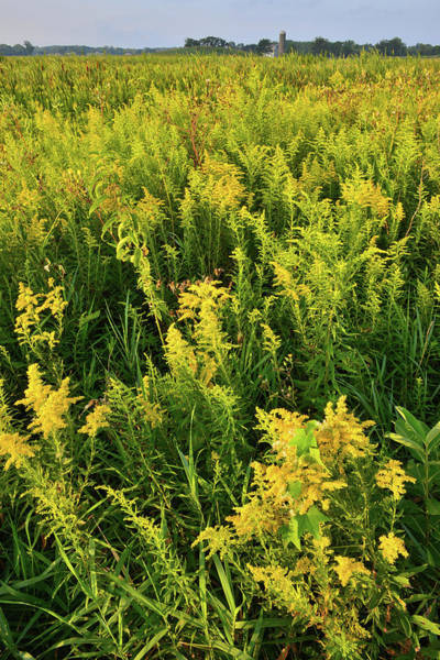 Photograph - Goldenrod In Glacial Park by Ray Mathis