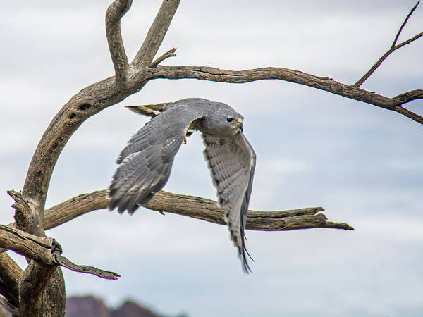 Photograph - Gray Hawk by Tam Ryan