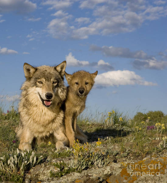 Timber Wolves Photograph - Gray Wolf And Cub by Jean-Louis Klein & Marie-Luce Hubert
