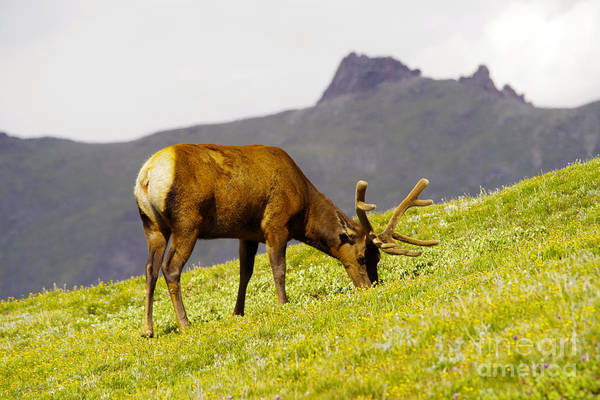 Wall Art - Photograph - Grazing Bull Elk by Jeff Swan