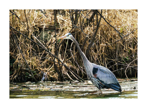 Photograph - Great Blue Heron Fishing by Edward Peterson