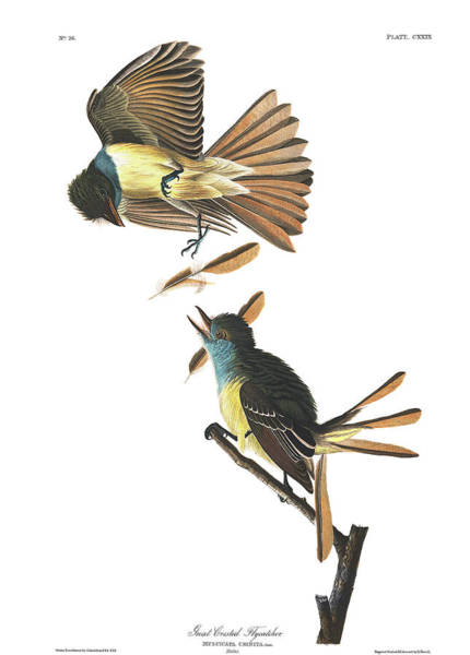 Flycatcher Painting - Great Crested Flycatcher by John James Audubon