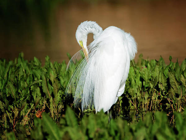 Photograph - $250 - 16x20 Canvas - Great Egret Preening by Tam Ryan