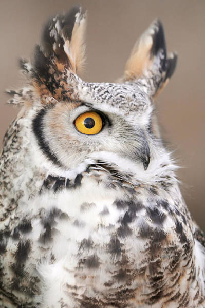 Photograph - Great Horned Owl by Jim Hughes