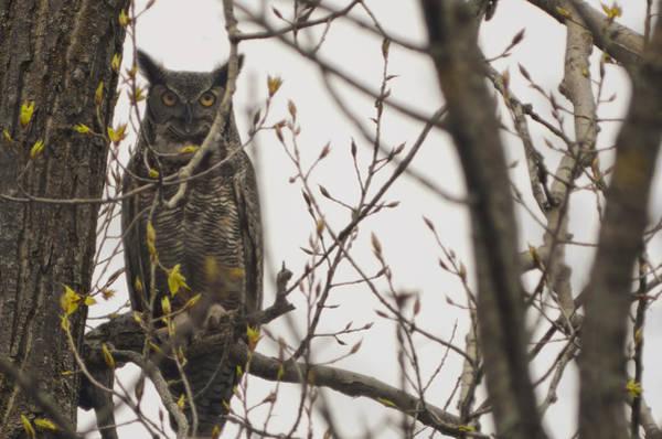 Nikon D5000 Photograph - Great Horned Owl by Matt Steffen