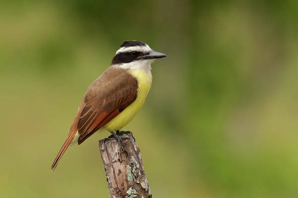 Photograph - Great Kiskadee by Aivar Mikko