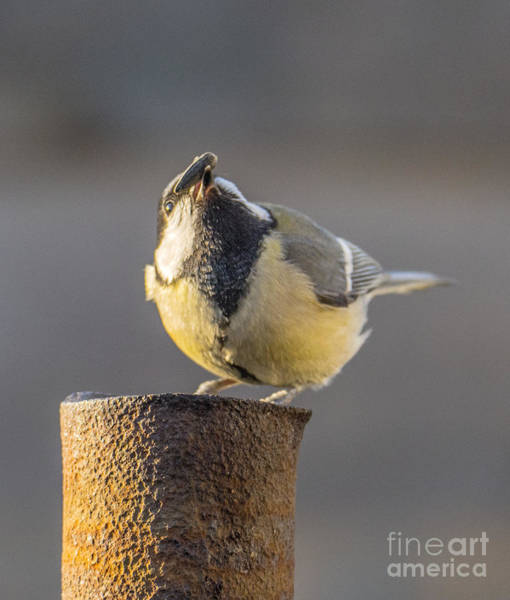 Photograph - Great Tit On The Tube by Odon Czintos