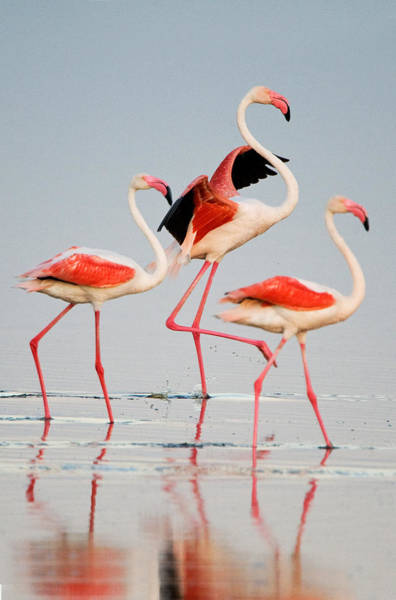 Flamingos Wall Art - Photograph - Greater Flamingos Phoenicopterus Roseus by Panoramic Images