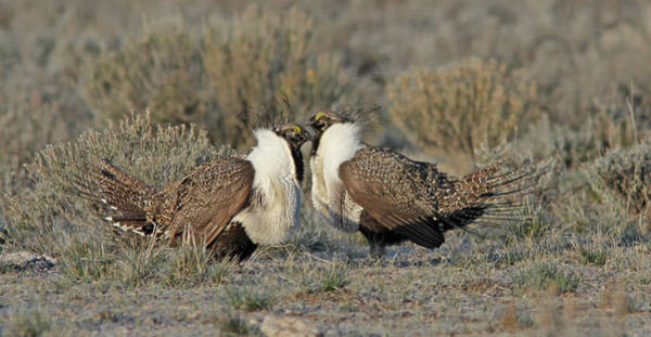 Wall Art - Photograph - Greater Sage Grouse by Gary Wing