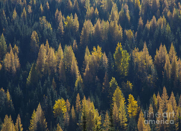 Boundary County Photograph - Green And Gold by Idaho Scenic Images Linda Lantzy