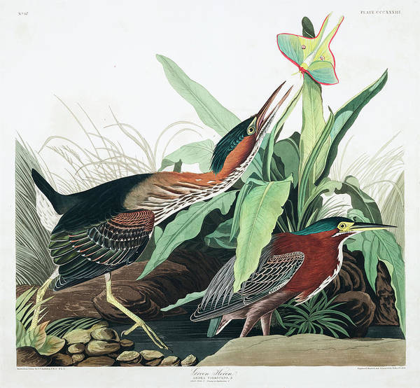 Wall Art - Painting - Green Heron by John James Audubon