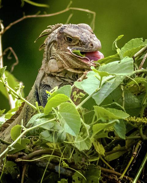 Photograph - Green Iguana Panaca Quimbaya Colombia by Adam Rainoff