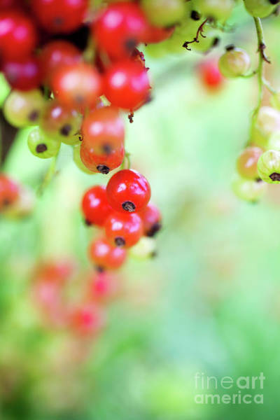 Wall Art - Photograph - Growing Red Currant by Kati Finell