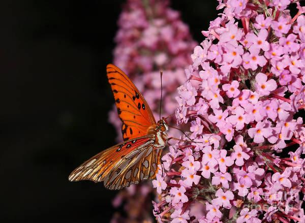 Gulf Fritillary Wall Art - Digital Art - Gulf Fritillary Or Passion Butterfly by Nicholas Burningham