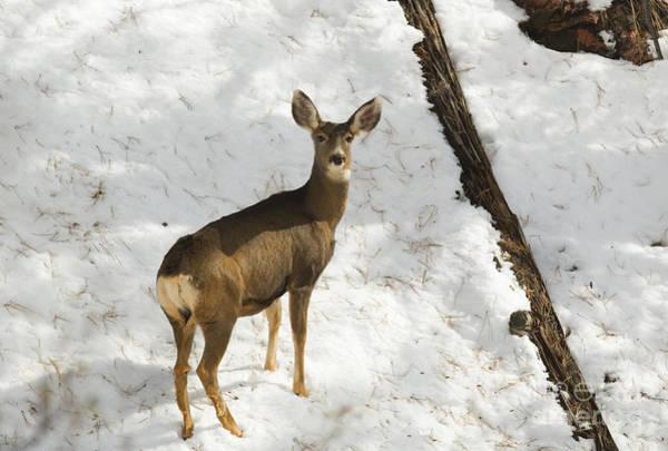 Photograph - Herd Of Mule Deer In Deep Snow by Steve Krull