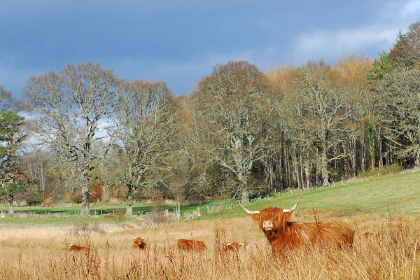 Photograph - Highland Cow by Gavin MacRae