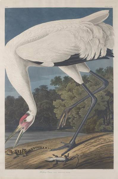 Wall Art - Drawing - Hooping Crane by Dreyer Wildlife Print Collections