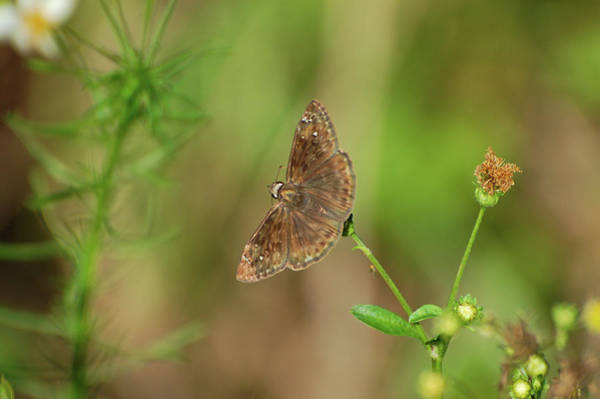 Wall Art - Photograph - Horace's Duskywing by Rich Leighton