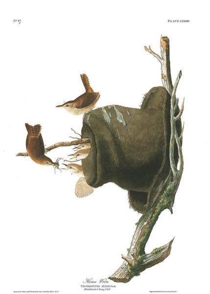 Wall Art - Painting - House Wren by John James Audubon