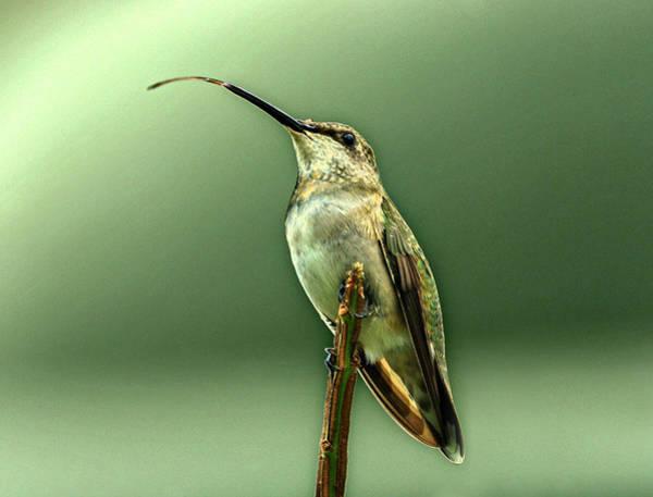 Photograph - Hummingbird by Sandy Keeton