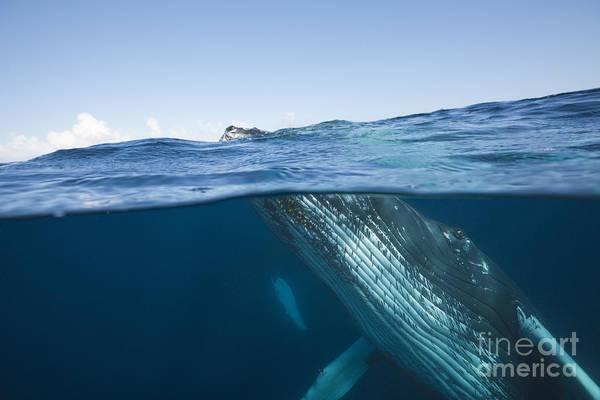 Above And Below Wall Art - Photograph - Humpback Whale by Reinhard Dirscherl