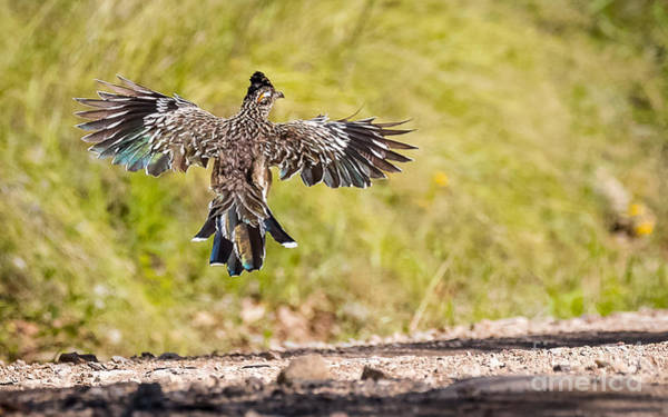 Greater Roadrunner Photograph - I Wanna Fly Away..... by Carl Jackson