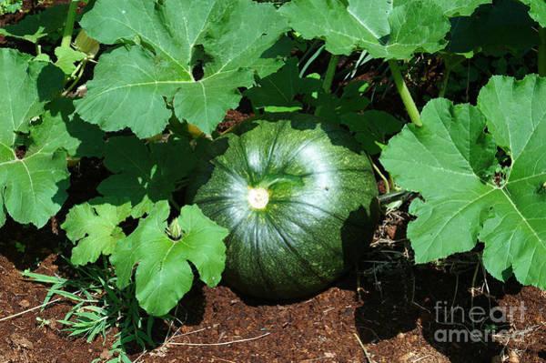 Cucurbit Photograph - Immature Pumpkin by John Kaprielian